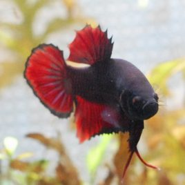 male black devil betta
