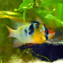 male german blue ram