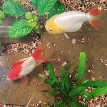 Goldfish: Substrate or Bare Bottom Tanks?