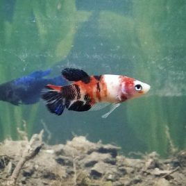 female koi betta