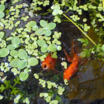 Goldfish Love Live Plants