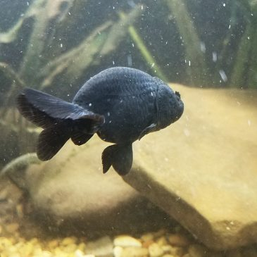 Black Thai Ranchu Goldfish